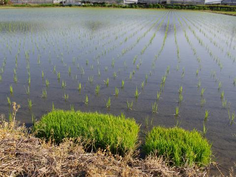 特別栽培米研究会 どっこん水の田んぼ