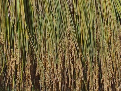 はさかけ米 乾燥前
