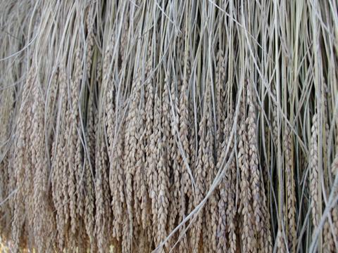 はさかけ米 乾燥後